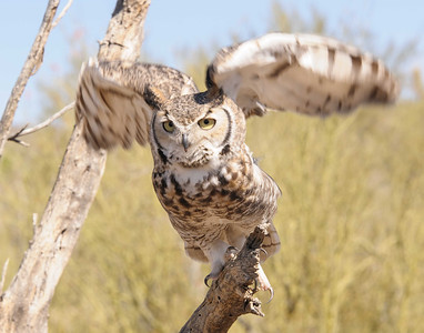 Great Horned Owl Take-off