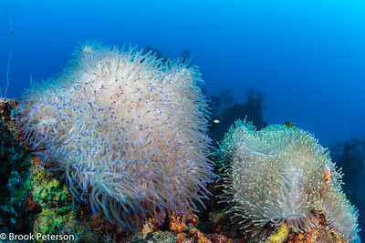 Giant Colorful Anemones