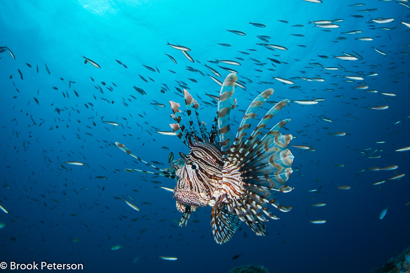 Lion Fish and Schooling Fish