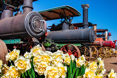 05_Steam engines with daffodils_Wooden Shoe Tulip Farm © June Russell-Chamberlin