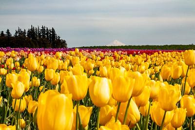 11_Yellow Tulip field_Wooden Shoe Tulip Farm © June Russell-Chamberlin