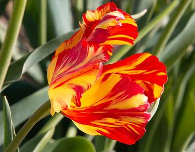 36_Tulip closeup_Wooden Shoe Tulip Farm © June Russell-Chamberlin