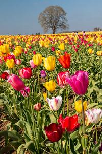 21_Tulip field closeup_Vertical_Wooden Shoe Tulip Farm © June Russell-Chamberlin
