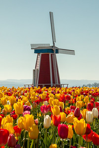 01_Windmill with tulips_Vertical_Wooden Shoe Tulip Farm © June Russell-Chamberlin