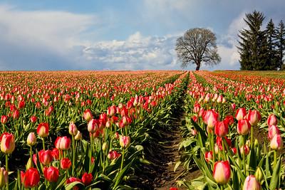 28_Tulip field_Wooden Shoe Tulip Farm © June Russell-Chamberlin