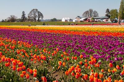 18_Tulip field_Wooden Shoe Tulip Farm © June Russell-Chamberlin