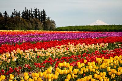 12_Tulip field with Mt Hood_Wooden Shoe Tulip Farm © June Russell-Chamberlin