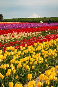 13_Tulip field with Mt Hood_Vertical_Wooden Shoe Tulip Farm © June Russell-Chamberlin