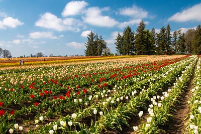 20_Tulip field_Wooden Shoe Tulip Farm © June Russell-Chamberlin