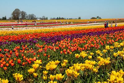 19_Tulip field_Wooden Shoe Tulip Farm © June Russell-Chamberlin