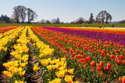 17_Tulip field_Wooden Shoe Tulip Farm © June Russell-Chamberlin