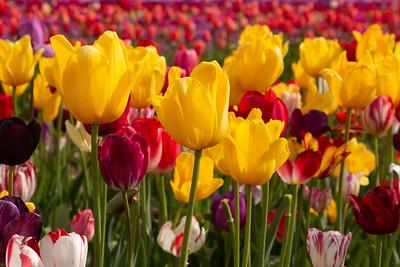 24_Tulip field closeup_Wooden Shoe Tulip Farm © June Russell-Chamberlin