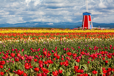 27_Tulip field_Wooden Shoe Tulip Farm © June Russell-Chamberlin