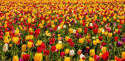 26_Tulip field_Wooden Shoe Tulip Farm © June Russell-Chamberlin