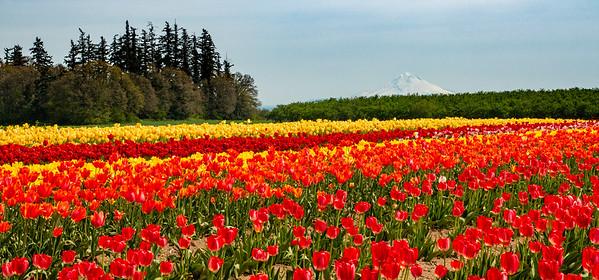 08_Tulip field with Mt Hood_Wooden Shoe Tulip Farm © June Russell-Chamberlin