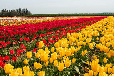 25_Tulip field_Wooden Shoe Tulip Farm © June Russell-Chamberlin