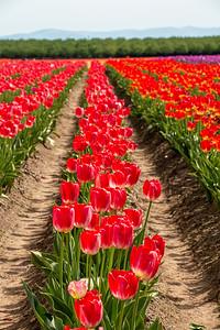 09_Tulip field_Vertical_Wooden Shoe Tulip Farm © June Russell-Chamberlin