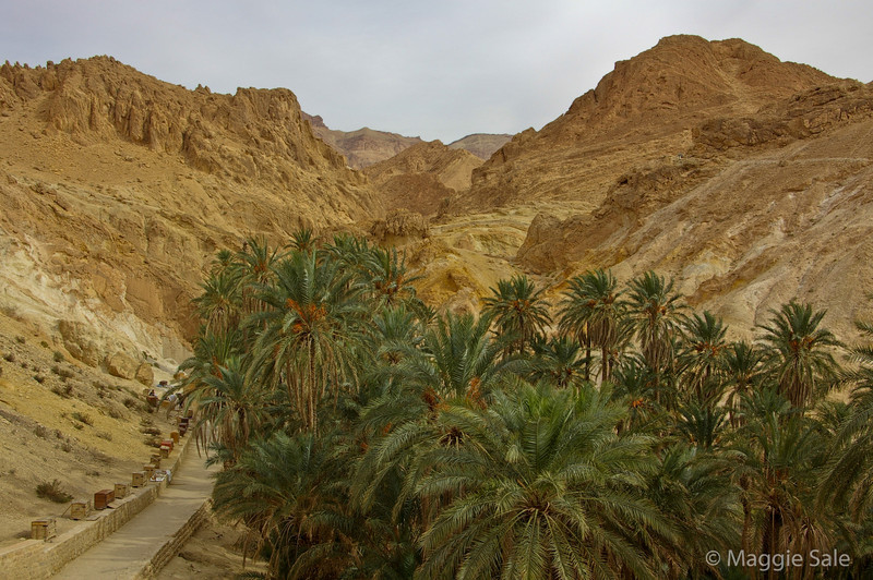 Date palms in oasis village of Chebika