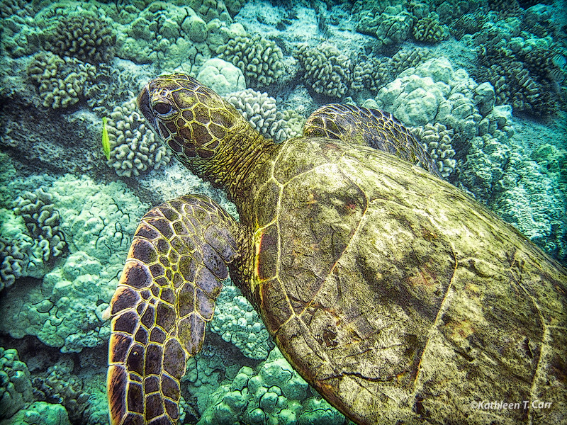 Turtle over Coral II