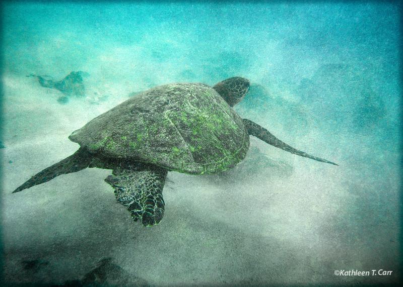Turtle, Kua Bay