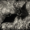 Two Manta Rays,  Black & White