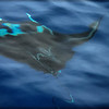 Manta Ray on Surface