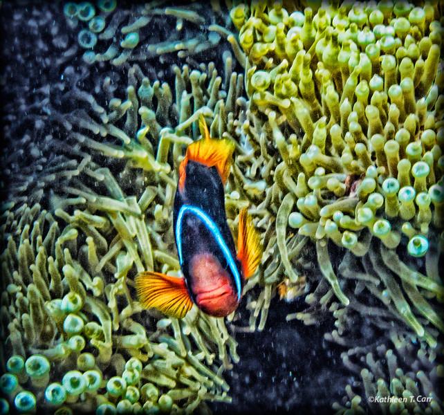 Fish in Anenome