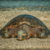 Turtle Resting