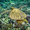Turtle over Coral