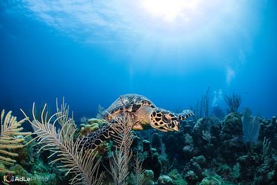 Hawksbill Sea Turtle - Roatan, Honduras