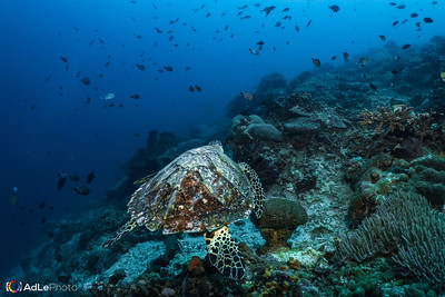 Hawksbill Turtle - Bali, Indonesia