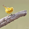 Yellow Warbler, Dendroica petechia