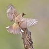 Palm Warbler, Dendroica palmarum