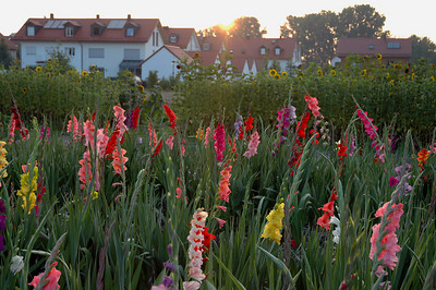Gladiolas - Munich, Germany