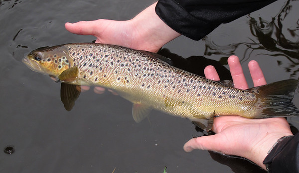 REturning a dollaghan trout to the River Blackwater Co Tyrone