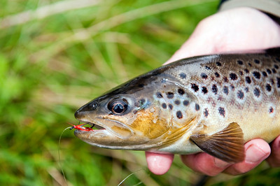 A Tyrone Blackwater  Brown Trout