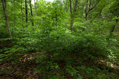 Northern Spicebush (Lindera benzoin [Lauraceae]) Clump, Tyson Forest Dynamics Plot