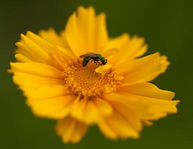 Halictid Bee on Coreopsis, Tyson Research Center, Missouri