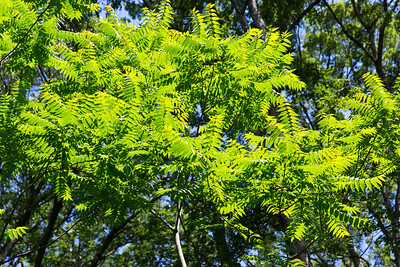 Tree of Heaven (Ailanthus altissima [Simaroubaceae]) in Treefall Gap, Tyson Forest Dynamics Plot, Summer 2013