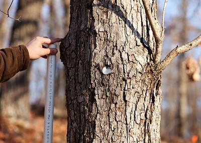 White Oak (Quercus alba [Fagaceae]), Tyson Forest Dynamics Plot