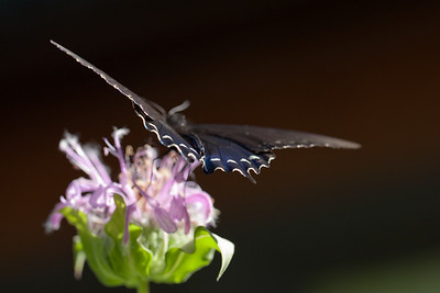 Butterfly, Tyson Research Center, Missouri