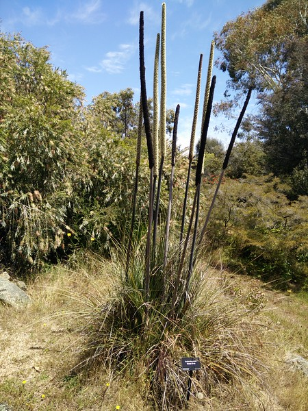 Xanthorrhoea preisii - Grass Tree