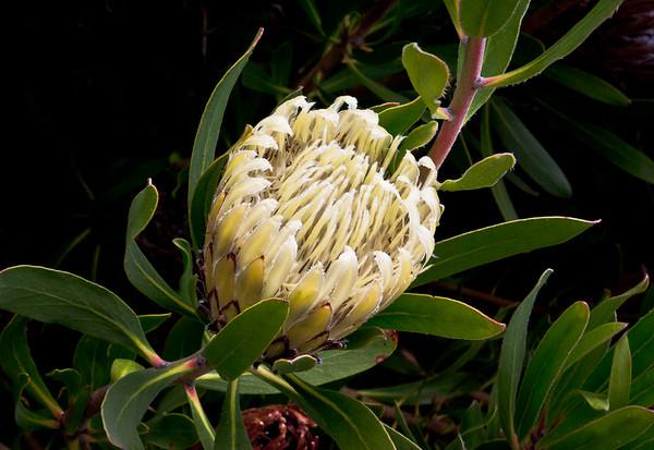 Protea obtusifolia white form