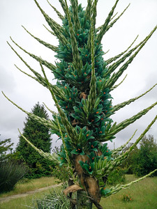 Puya in bloom, May 7, 2016