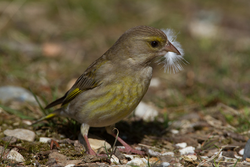 Greenfinch