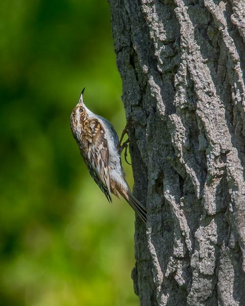 Treecreaper