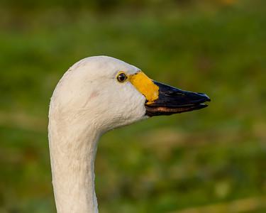 Bewick Swan
