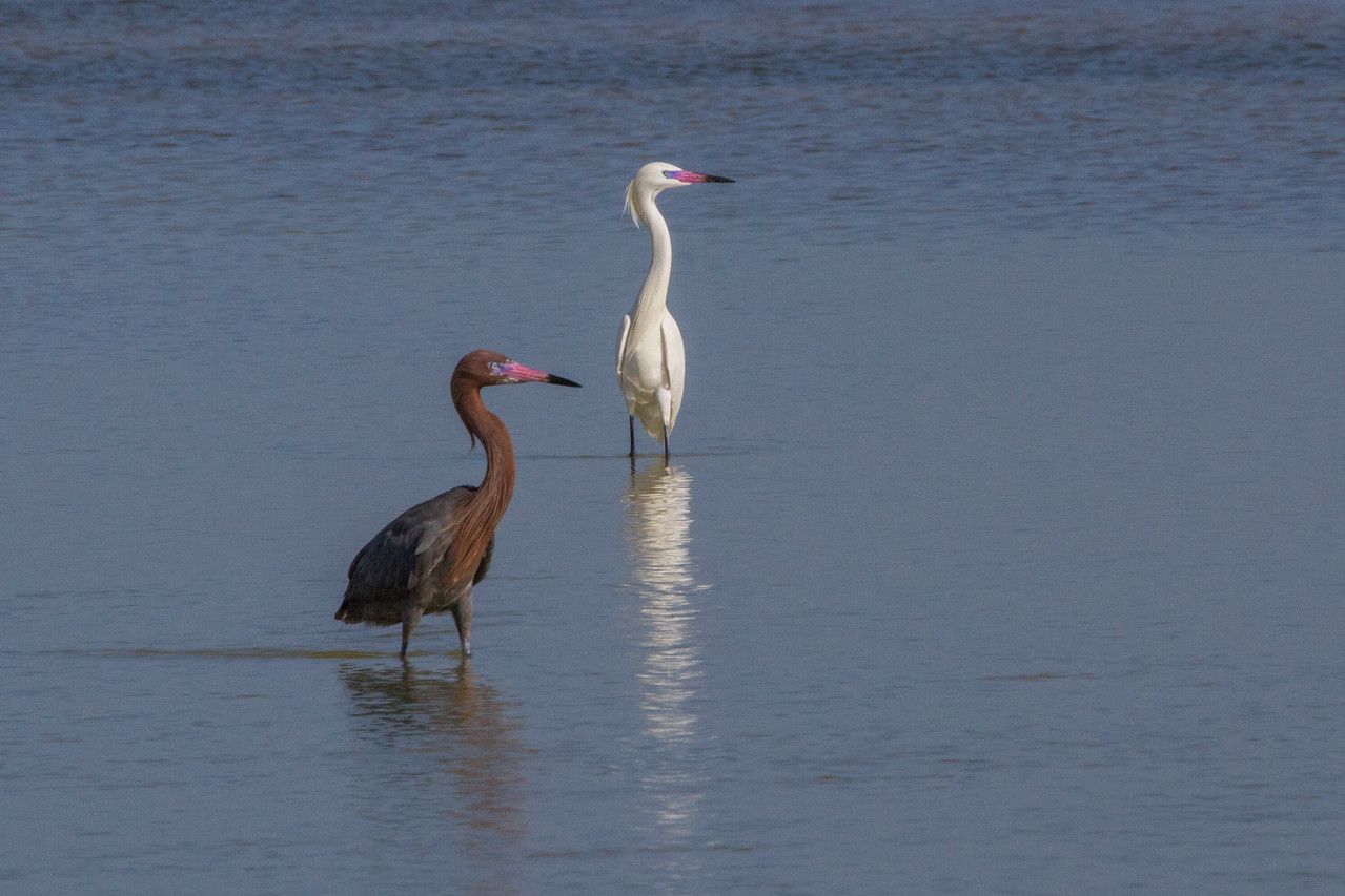 Reddish Egret and White Morph Reddish Egret