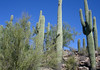 Saguaro Cactus among the Palo Verde - Tucson Mountains - Saguaro National Park - Arizona.