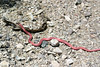 Red Coachwhip or Red Racer (Masticophis flagellum piceus) - are diurnal, and actively hunt and eat lizards, small birds, and rodents. They tend to be sensitive to potential threats, and often bolt at the first sign of one; they are extremely fast-moving snakes. They are curious snakes with good eyesight, and are sometimes seen raising their heads above the level of the grass or rocks to see what is around them.